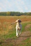 Labrador com a vara grande na boca Fotografia de Stock Royalty Free