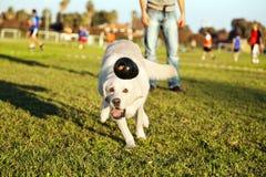 Labrador que corre após o brinquedo da mastigação no parque imagem de stock