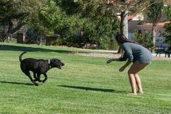 Labrador que corre para dominar imagem de stock royalty free