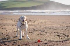 Labrador que espera pacientemente su bola que se lanzará fotos de archivo libres de regalías