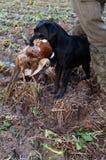 Labrador que extrae el faisán Fotografía de archivo libre de regalías