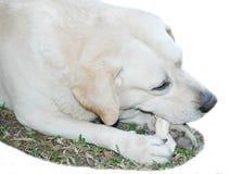 Labrador que muerde su hueso. Fotografía de archivo