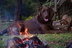 Labrador que pone por el fuego Imagenes de archivo