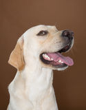 Labrador que presenta en un estudio Fotografía de archivo libre de regalías