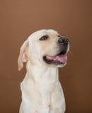 Labrador que presenta en un estudio Fotografía de archivo