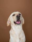 Labrador que presenta en un estudio Imagen de archivo