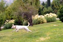 Labrador que se ejecuta Fotos de archivo