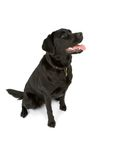 Labrador que se sienta Fotografía de archivo