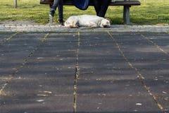 Labrador que toma uma sesta no parque Imagem de Stock Royalty Free