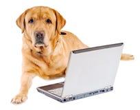 Labrador que trabaja en la computadora portátil imágenes de archivo libres de regalías