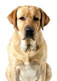 Labrador querido Imagem de Stock Royalty Free