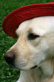 Labrador with red hat. Fashion portrait of yellow labrador retriever Stock Photos
