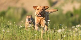 Labrador Redriver dog and Bulldog. Dog is running over a blooming beautiful colorful meadow royalty free stock image