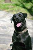 Labrador Retiever Royaltyfri Fotografi