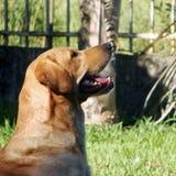 Labrador Retiever photographie stock