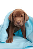 Labrador retreiver puppy Royalty Free Stock Photo