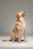 Labrador retrieve on gray background Royalty Free Stock Image