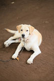 Labrador Retrieve Royalty Free Stock Photography