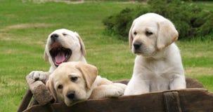 Labrador Retriever, Żółci szczeniaki w Wheelbarrow, ziewanie, Normandy w Francja, zwolnione tempo zbiory