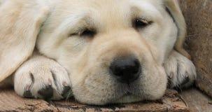 Labrador Retriever, Żółty szczeniaka dosypianie w Wheelbarrow, Normandy w Francja, zwolnione tempo zbiory wideo