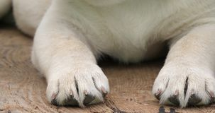 Labrador Retriever, Żółty szczeniaka dosypianie w Wheelbarrow, Normandy w Francja, zwolnione tempo zdjęcie wideo