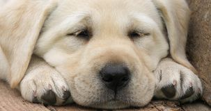 Labrador Retriever, Żółty szczeniaka dosypianie w Wheelbarrow, Normandy w Francja, zwolnione tempo zbiory
