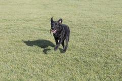 Labrador retriever zdjęcia stock