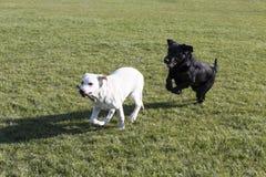 Labrador retriever obraz stock