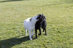 Labrador retriever obrazy stock