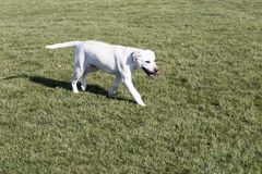 Labrador retriever fotografia stock