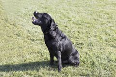 Labrador retriever fotografia royalty free