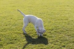 Labrador retriever zdjęcie royalty free
