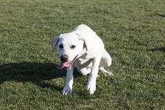 Labrador retriever images libres de droits