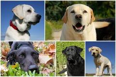Labrador retriever Royalty Free Stock Photos