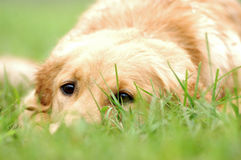 Free Labrador Retriever Stock Image - 19069251