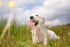 Labrador retriever Stock Photography