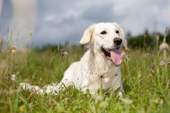Labrador retriever. Lying in green grass - blue sky on background Royalty Free Stock Photography