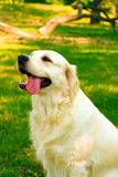 Labrador retriever. Adorable golden labrador retriever resting from summer heat Stock Image