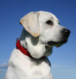 Labrador retriever. Beautiful purebred labrador retriever in blue sky Stock Photography