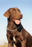 Labrador retriever Royalty Free Stock Photography