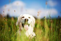 Labrador retriever. Sitting in green grass - blue sky on background Royalty Free Stock Image