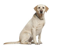 Labrador retriever, 3 years old, sitting Stock Image