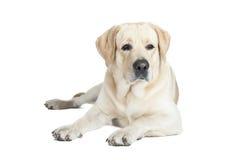 Labrador retriever Fotos de archivo