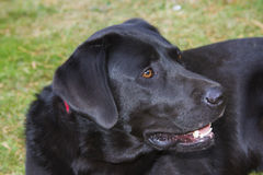 Labrador retriever Photo libre de droits