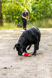 Labrador retriever Stockbild