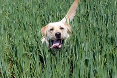 Labrador retriever Fotografie Stock Libere da Diritti