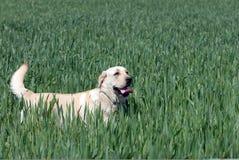 Labrador retriever Fotos de archivo libres de regalías
