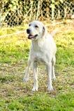 Labrador retriever Lizenzfreies Stockfoto