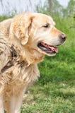 Labrador retriever Stockfotografie