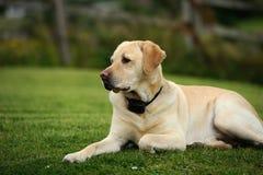 Labrador retriever Photos libres de droits